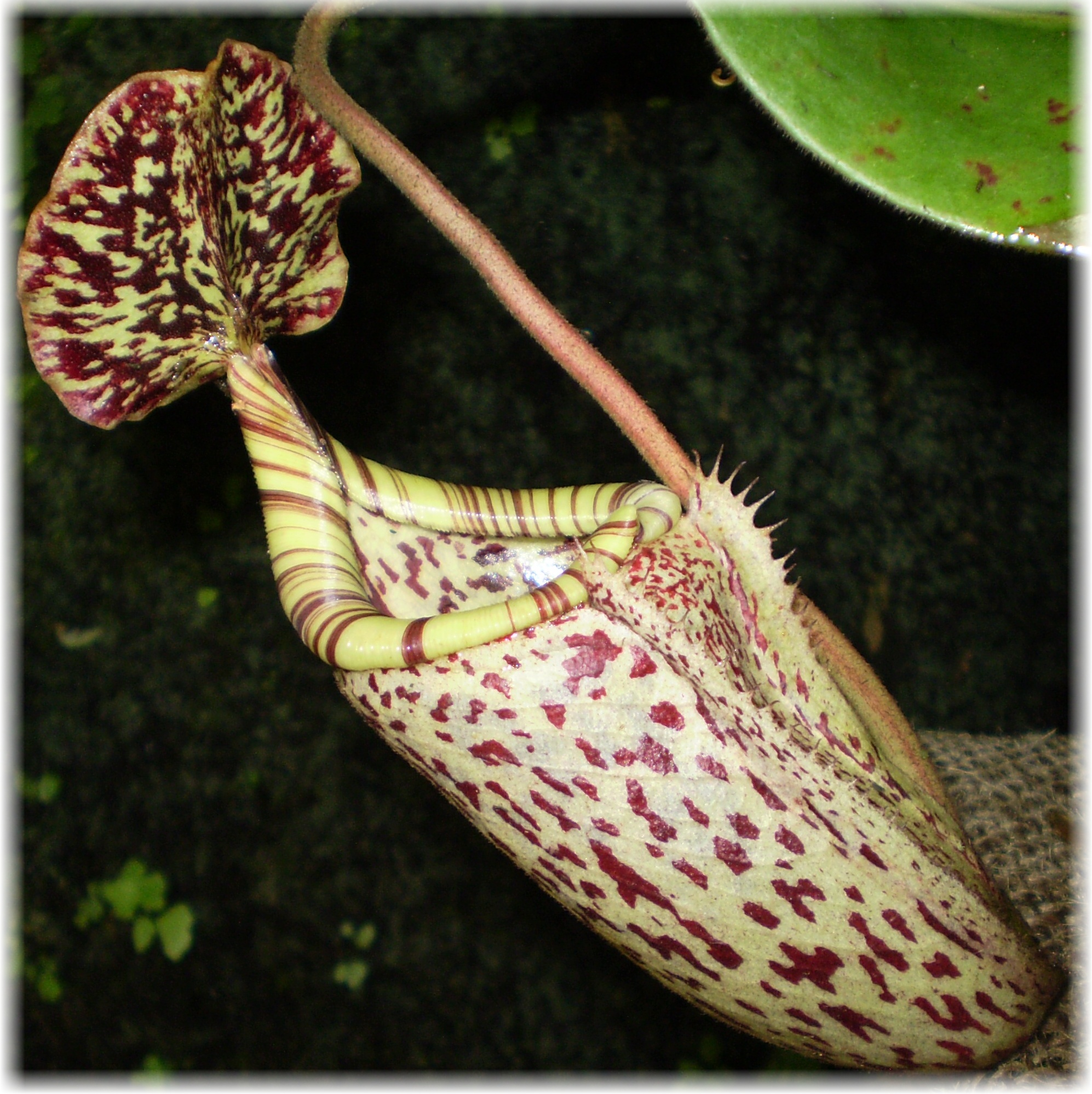 /src/!Fotogalerie/!Nepenthes/!burbidgeae/burbidgeae.jpg