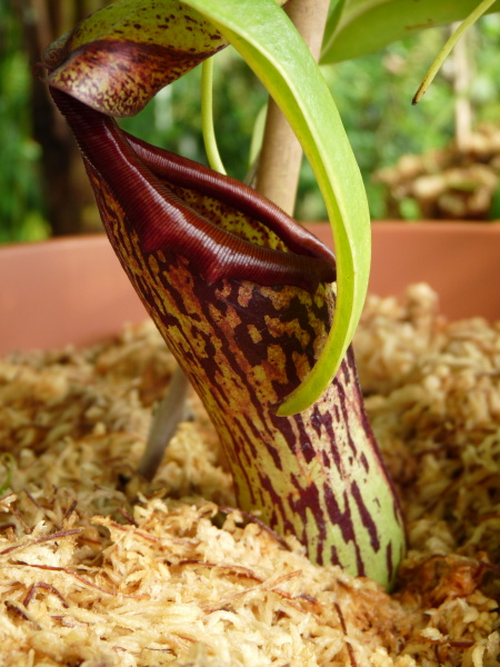 /src/!Fotogalerie/!Nepenthes/!insignis/insignis-1.jpg