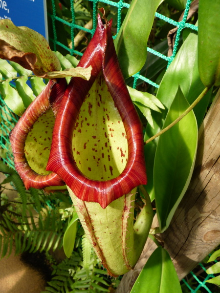 /src/!Fotogalerie/!Nepenthes/nepenthes--1.jpg