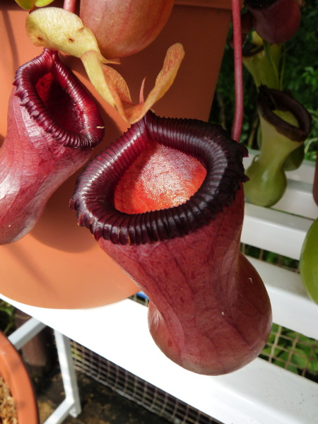 /src/!Fotogalerie/!Nepenthes/nepenthes-1.jpg