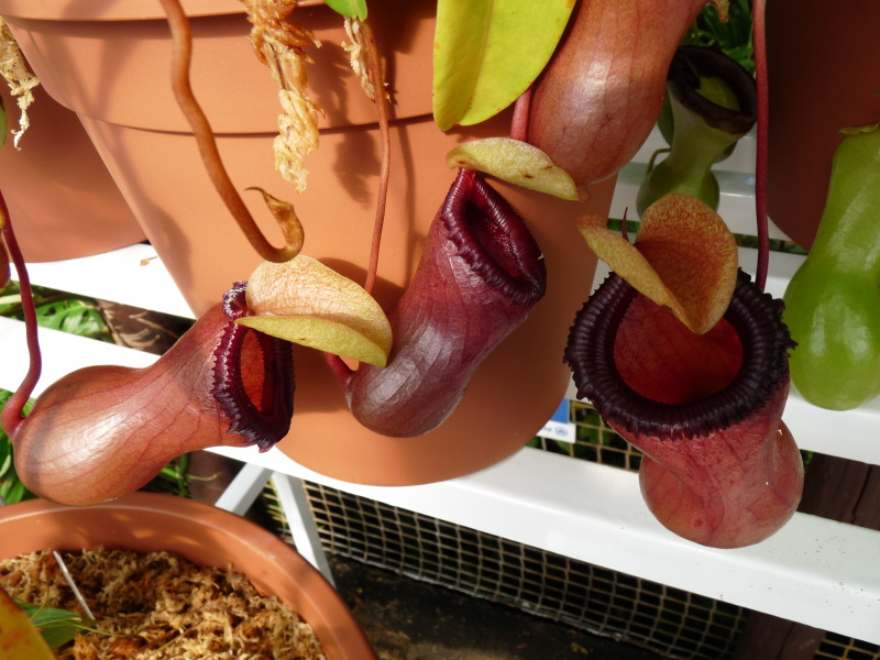 /src/!Fotogalerie/!Nepenthes/nepenthes-2.jpg