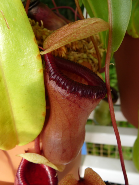 /src/!Fotogalerie/!Nepenthes/nepenthes-3.jpg